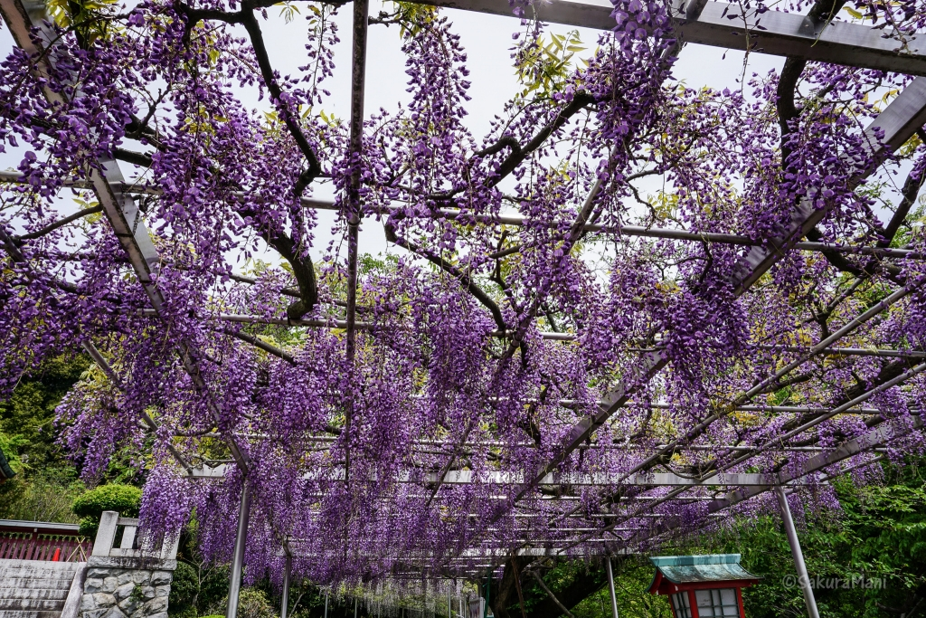 Wisteria at Orihime Shrine