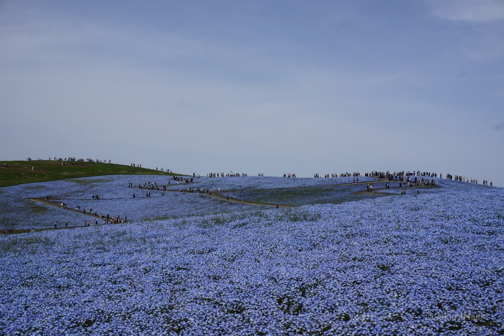 Sea of Nemophila at Hitachi Seaside Park