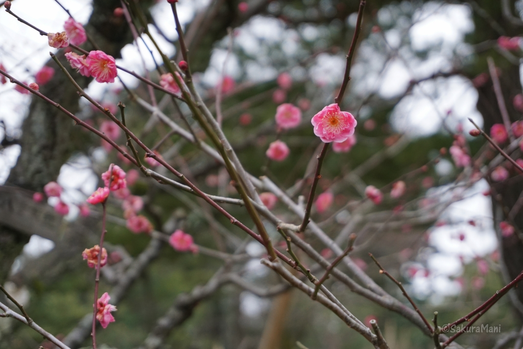 Plum blossoms in Kenroku-en