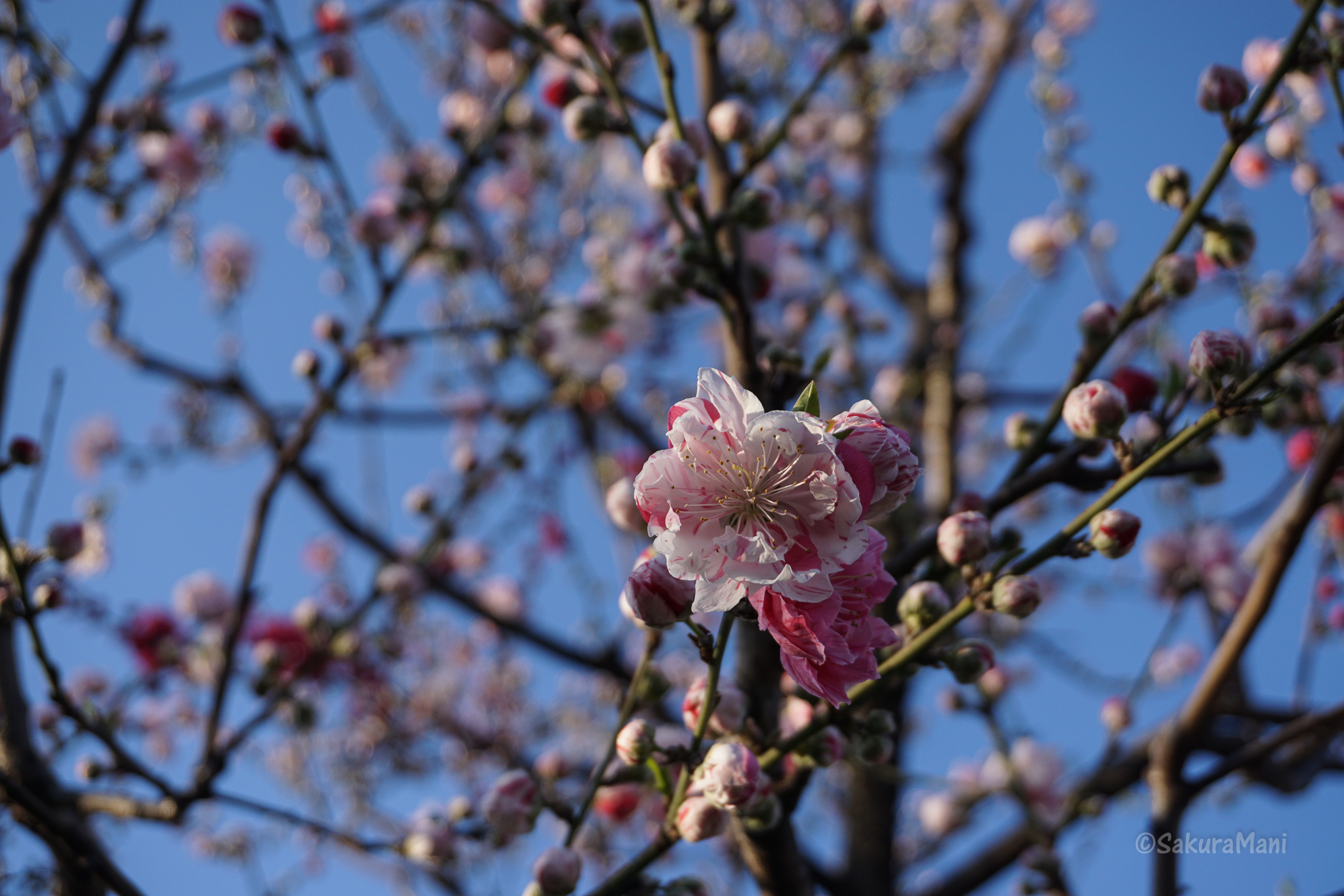 Flowers Of Spring In Japan Sakuramani