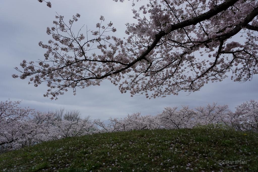 Cherry Blossom in Okayama