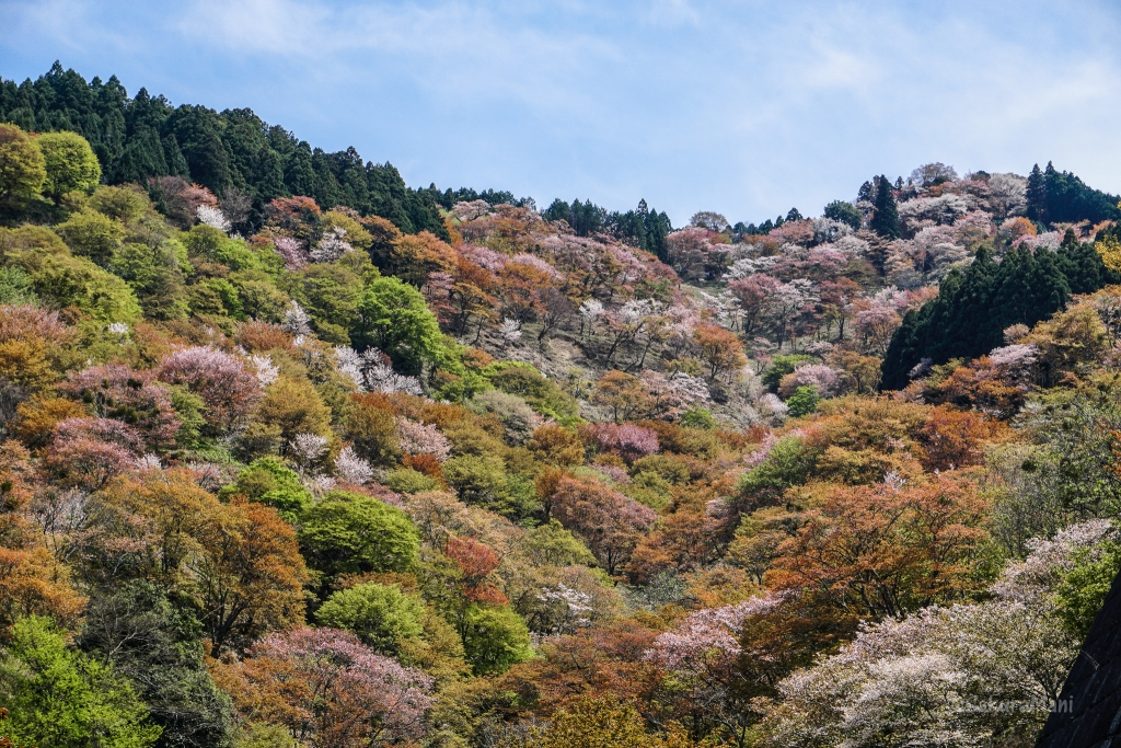 Yoshino in spring